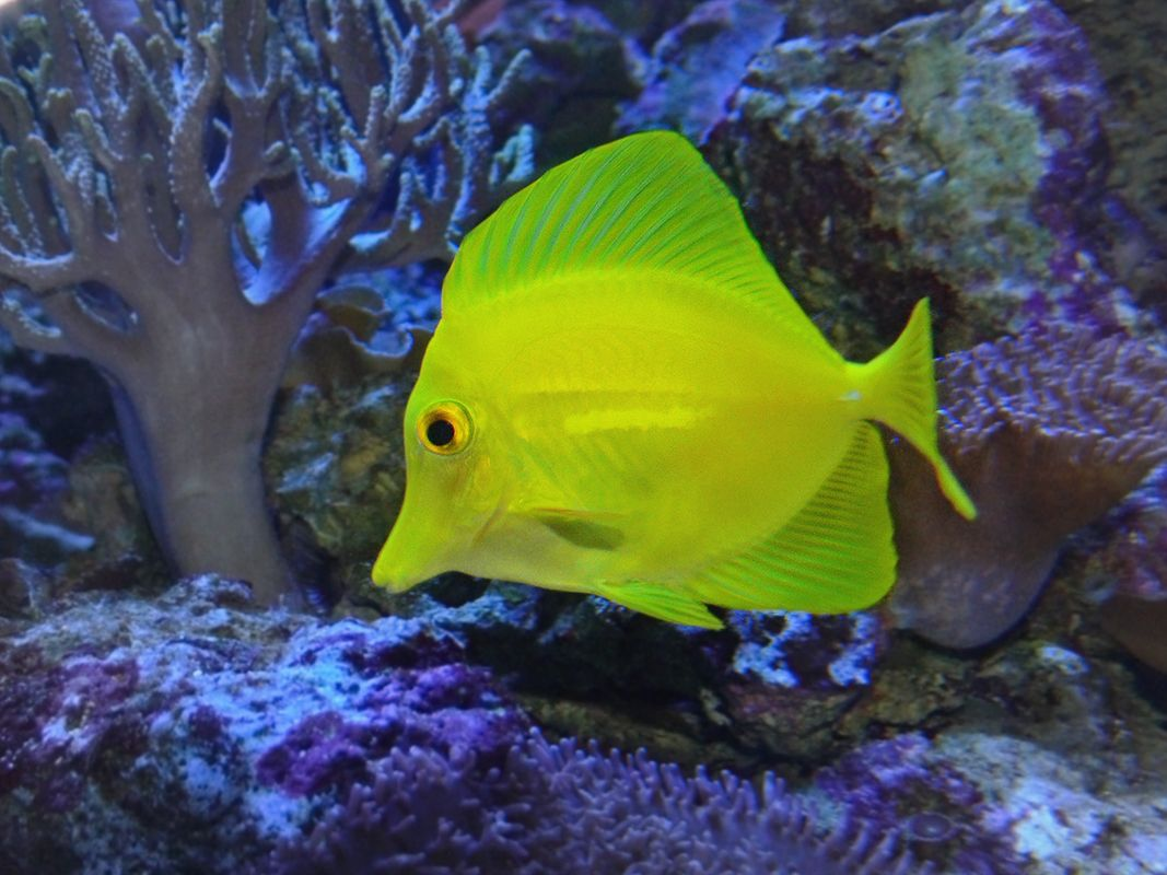 the yellow tang zebrasoma flavescens is a saltwater fish
