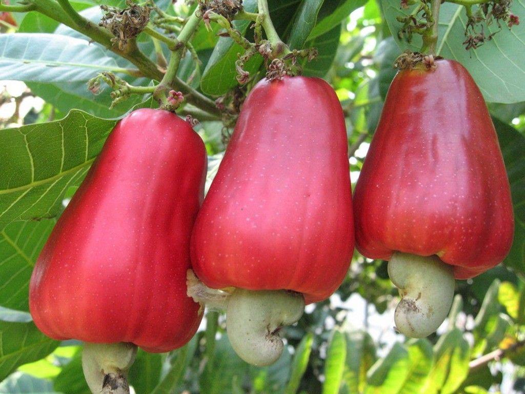 452 best fruits images on pinterest exotic fruit fruit trees