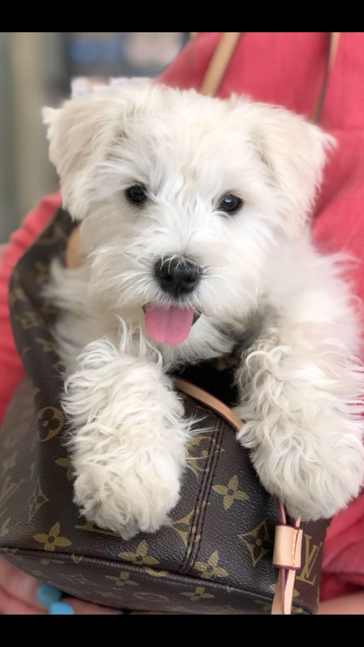 White Mini Schnauzer Auggie Schnauzer Puppy Schnauzer Mini
