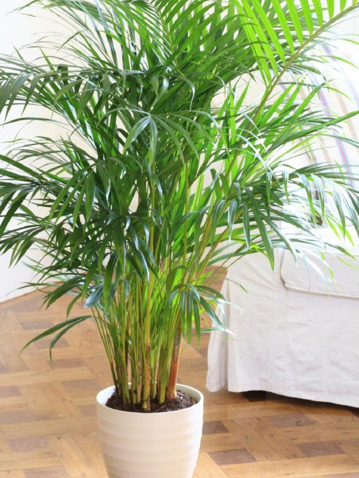 Bamboo Palm Is Great Air Purified Plant To Filter Oxygen 640 x 480
