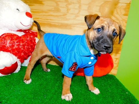Jack Russell Terrier Mix puppy for sale in HAMMOND, IN