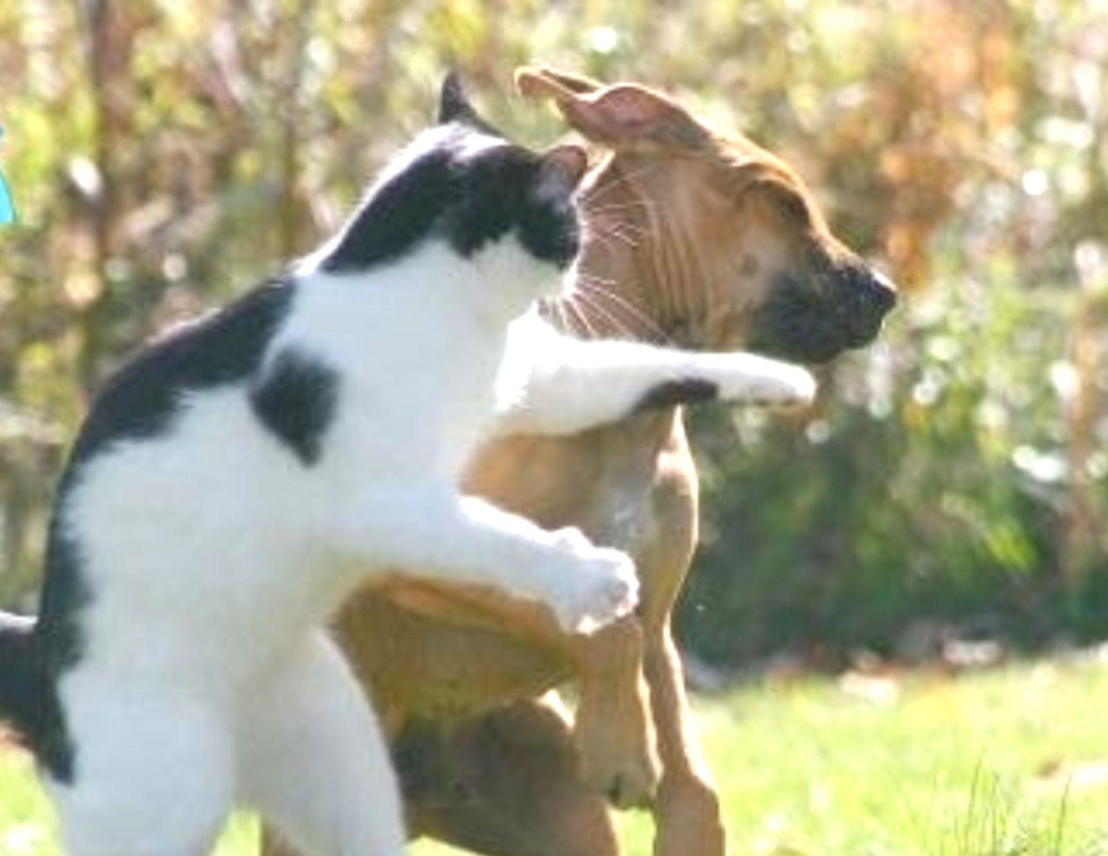 Kucing Pukul Anjing Seger Pinterest