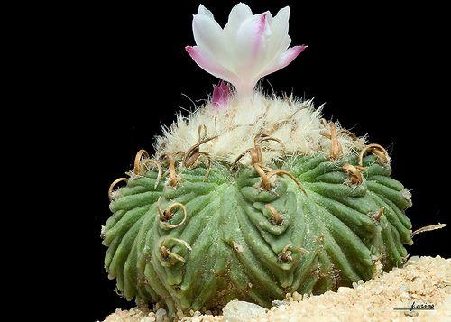 Aztekium Ritterii 15 Seeds Rare Cactus Seeds