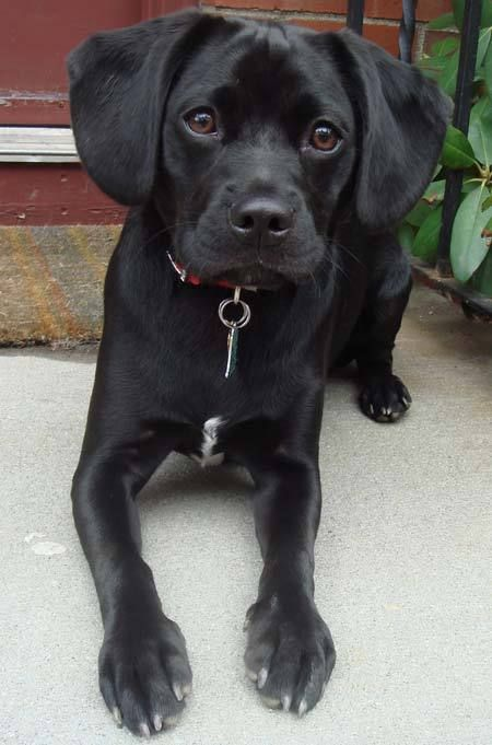 I Want A Black Puggle For My Sookie Girl Puggle Dogs Puggle