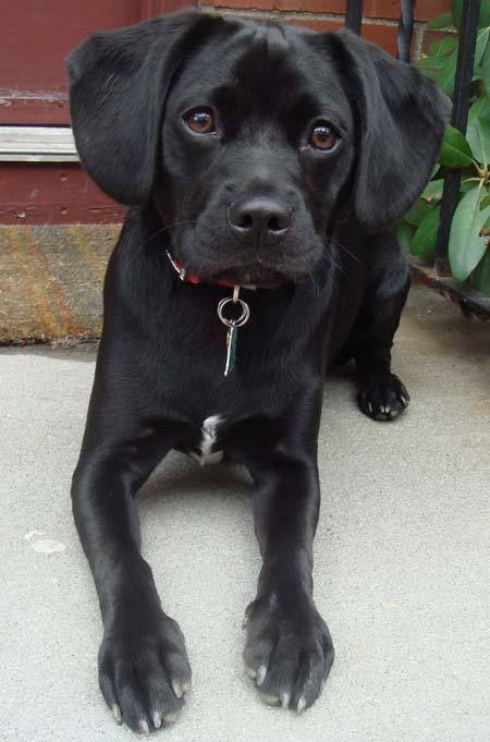 Black Puggle Puggle Blackpuggle Dog Black Puggle Puggle Dog