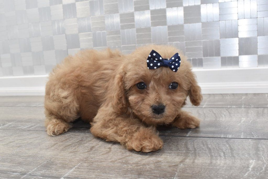 Cavapoo Puppies For Sale Happytail Puppies Family Dog Breeders Nc Cavapoo Puppies For Sale Cavapoo Puppies Dog Breeder