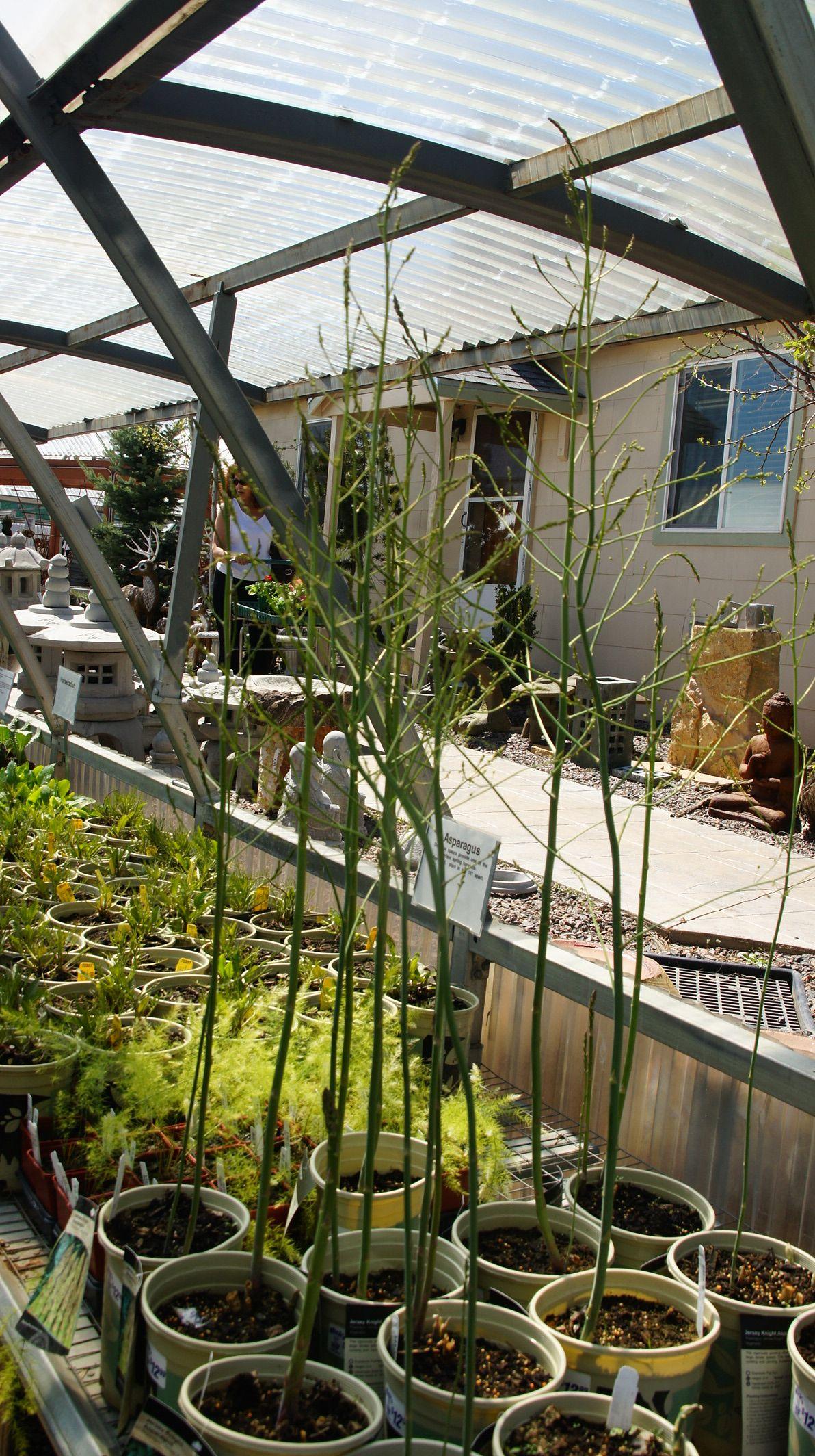 Asparagus plants garden plant pots companion gardening