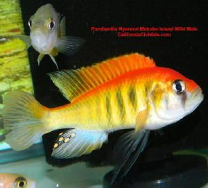 Pundamilia Nyererei Makobe Island F1 African Cichlids Tropical Freshwater Fish Cichlids