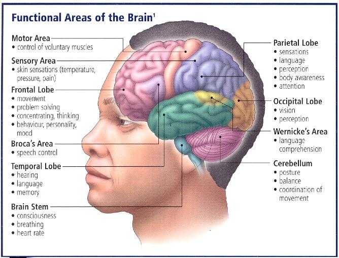 functional areas of the brain speechlanguage pathology