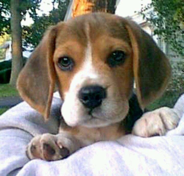 Look At That Face Beagle Puppy Cute Beagles Beagle Dog