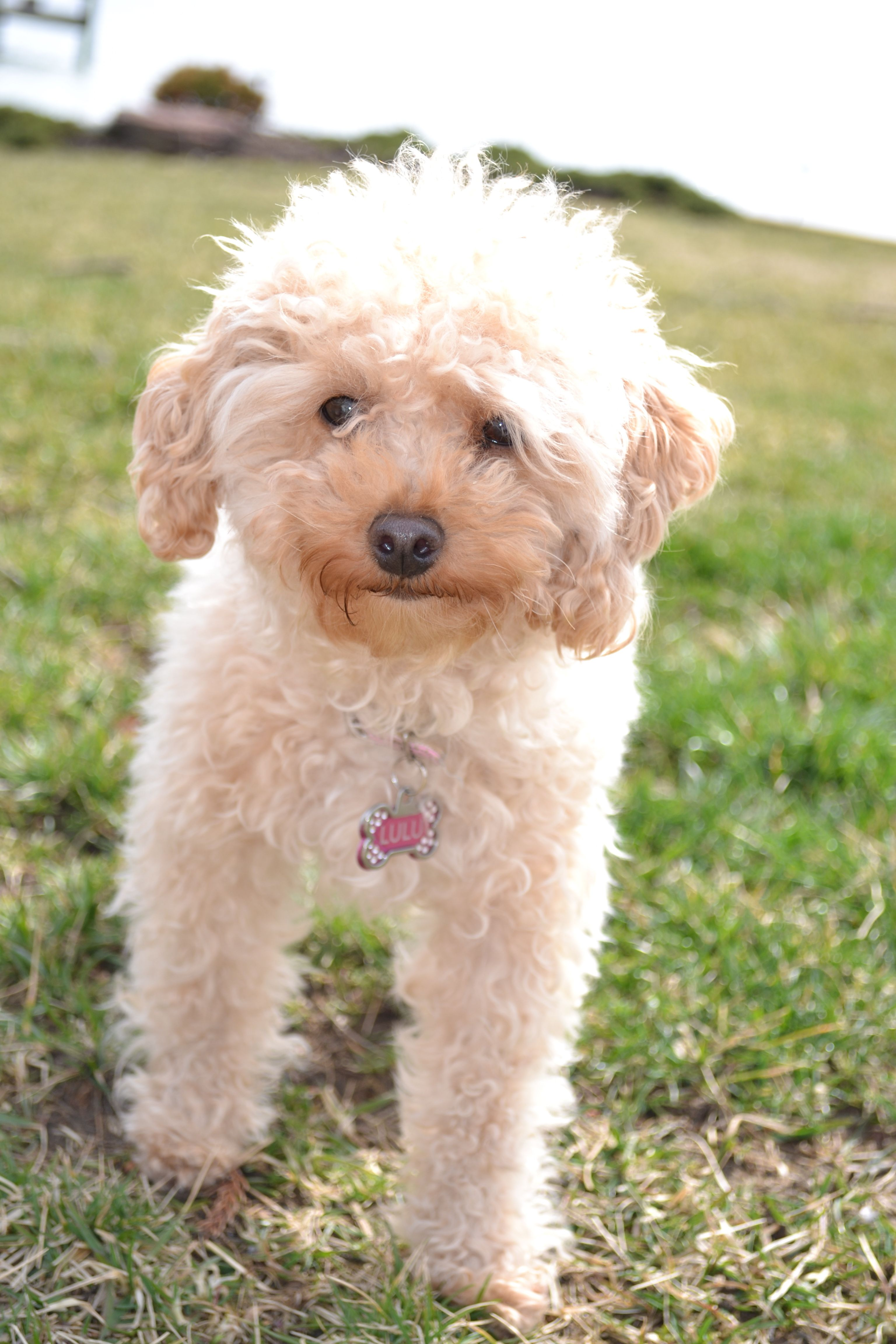 The Cutest Toy Poodle In The World Lulu Toy Poodle Poodle