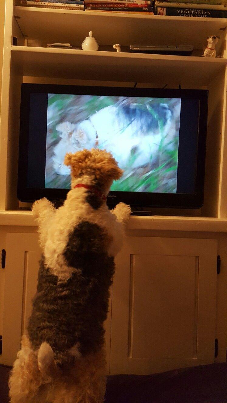 Tilly watching terriers Wire fox terrier, Fox terrier