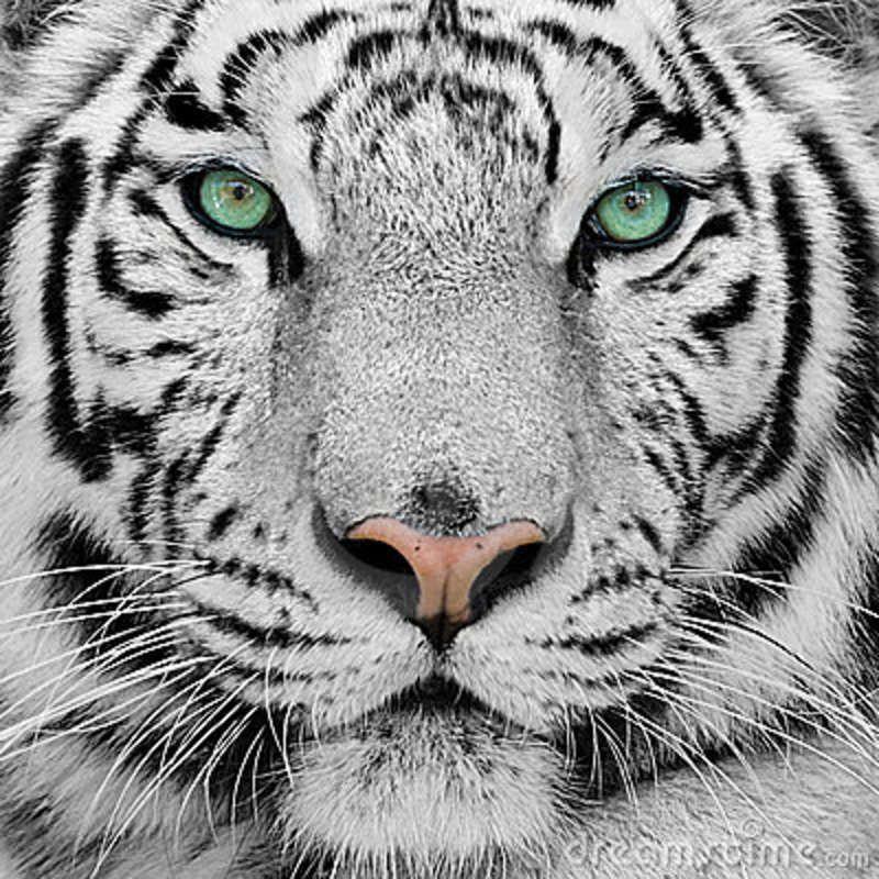 Pin De Andrea Calderon En Blanc Tatuaje De Tigre Blanco Tigres De Bengala Blanco Fotografia Tigre