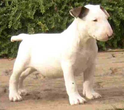 Yea It S The Cutest Bull Terrier Puppy Bull Terrier Miniature Bull Terrier