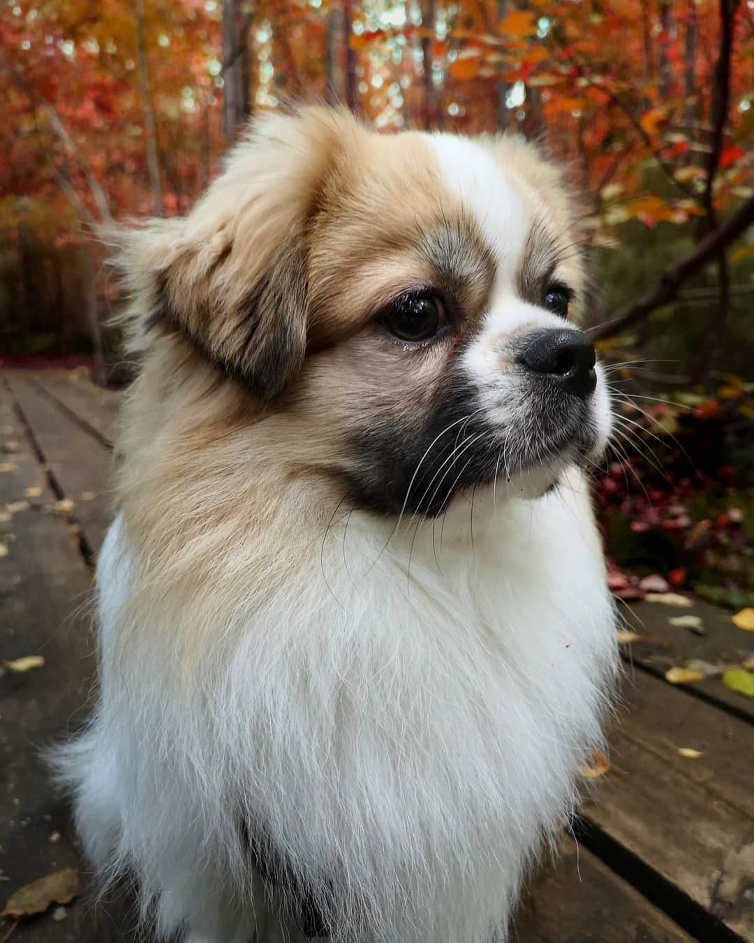 14 Things You Might Not Know About Tibetan Spaniel Dogs Petpress In 2020 Cute Tiny Dogs Spaniel Puppies Dog Breeds