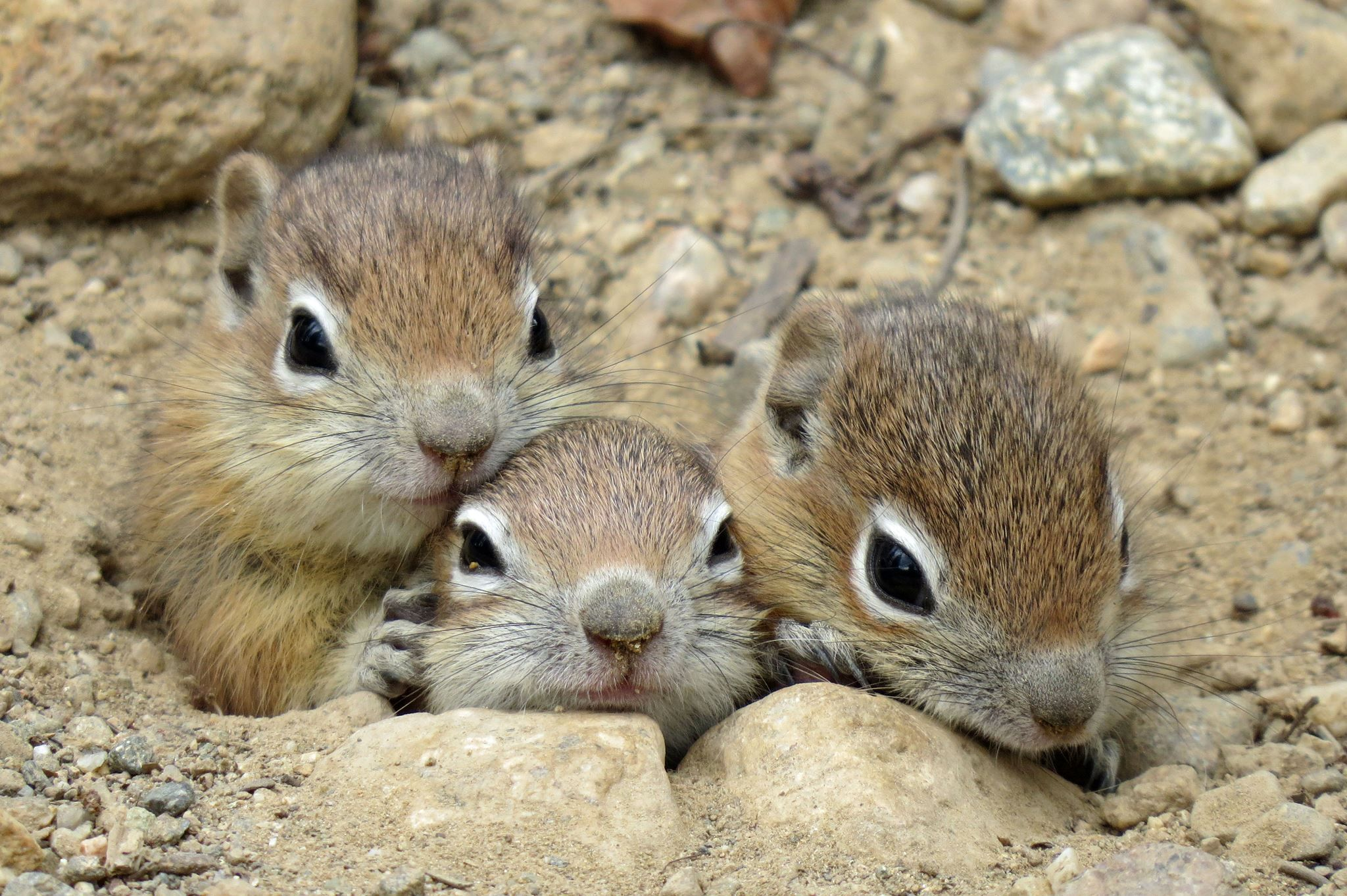 rocky mountain national park ground squirrels. fb