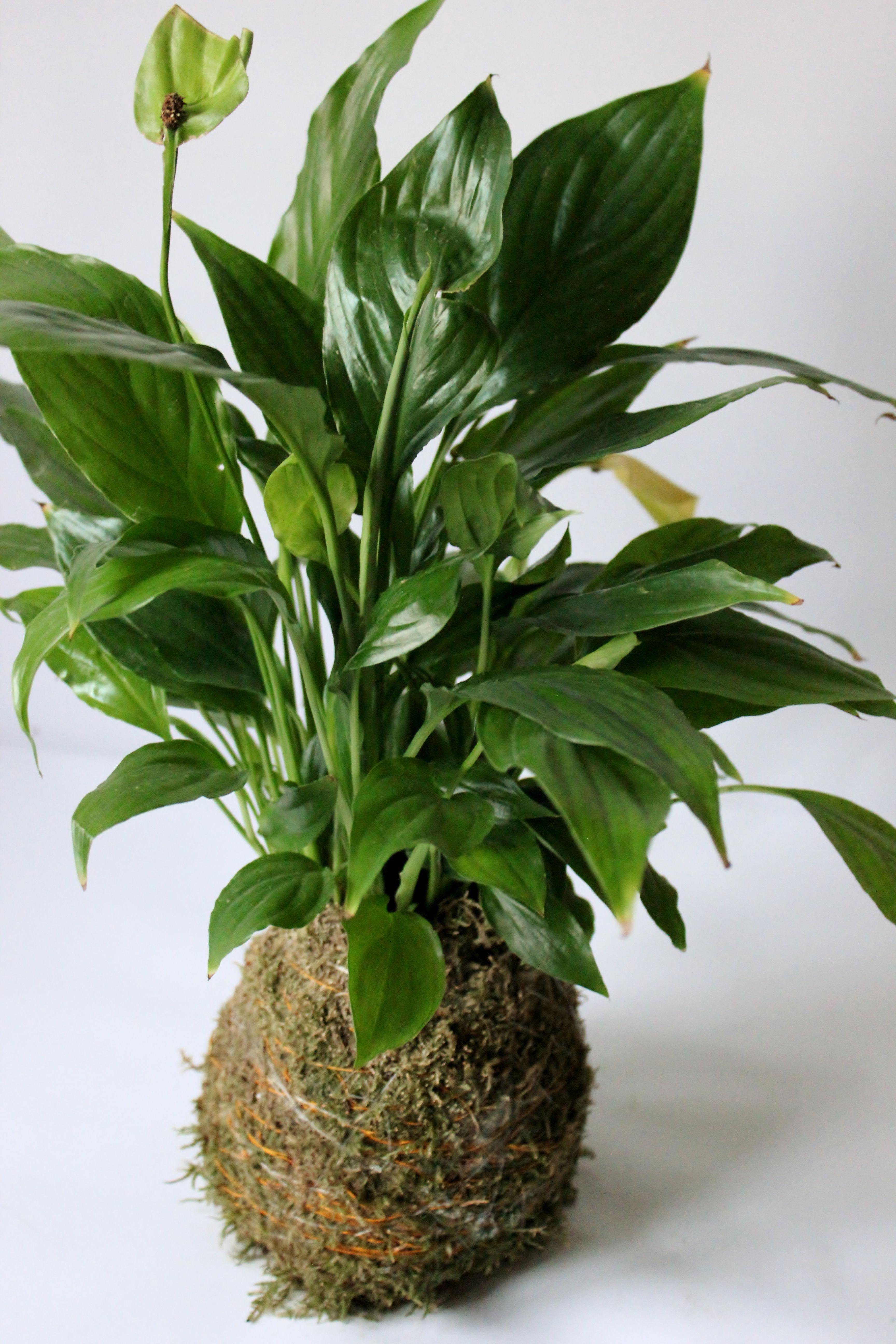 Kokedama spathiphyllum. Es una de las preferidas a la hora de hacer un regalo a cualquier amante de las plantas. Como el resto de Kokedamas se puede elaborar de varios tamaños. #kokedamas #regaloperfecto #leavesdesign #Adornosflorales