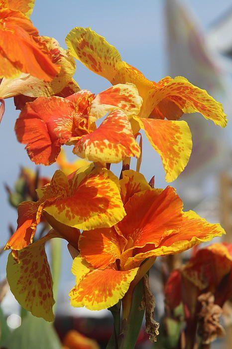 King Humbert Canna Lilies