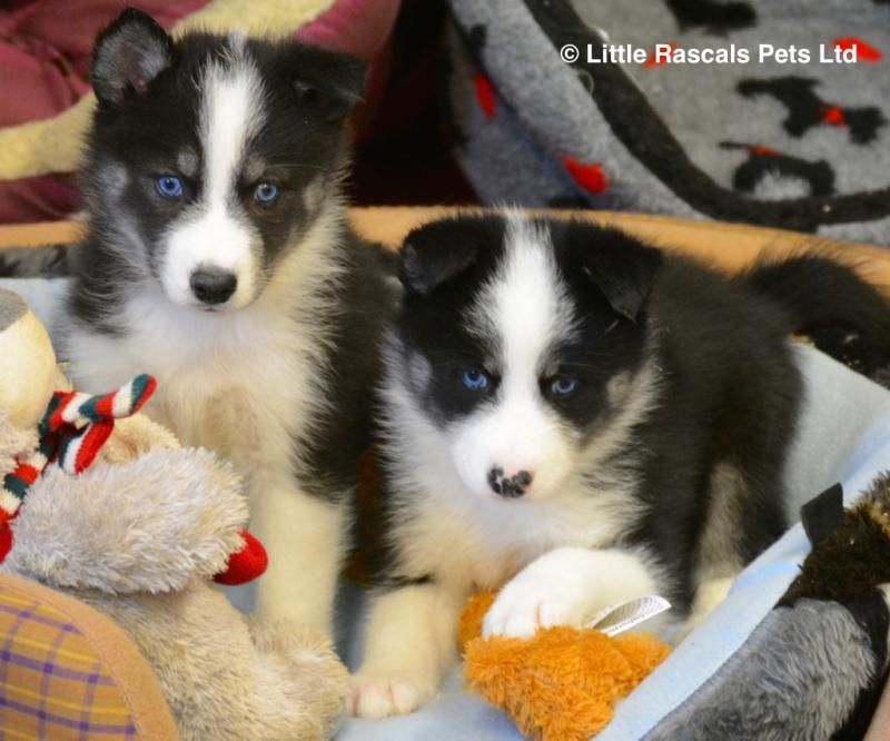 Beautiful Husky X Samoyed Puppies Designer And Cross Breed