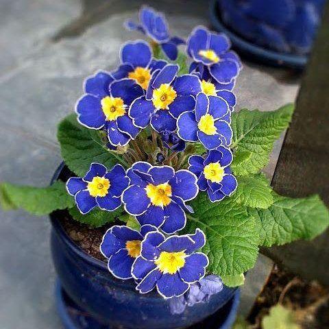 Showy 100x Rare Blue Evening Primrose Seeds Easy to Plant Garden Decor Flower