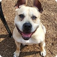Boxer/Shepherd (Unknown Type) Mix Dog for adoption in