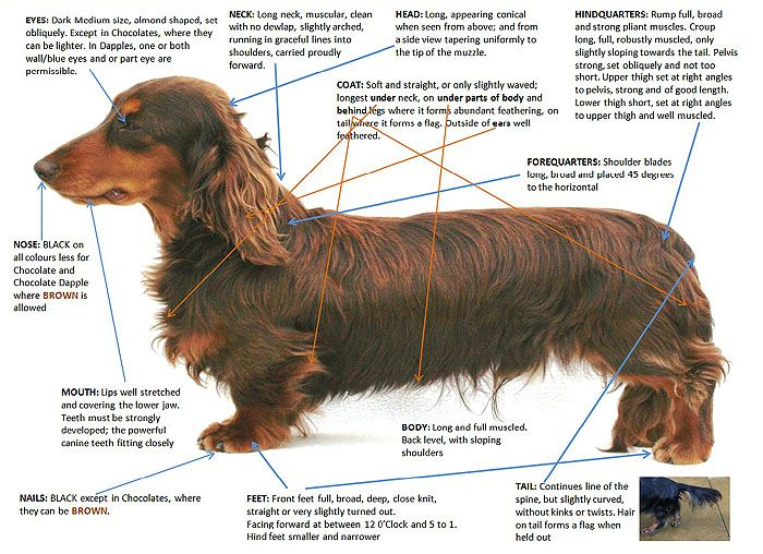 Quick Reference Guide To Breed Standard For Miniature Long Haired