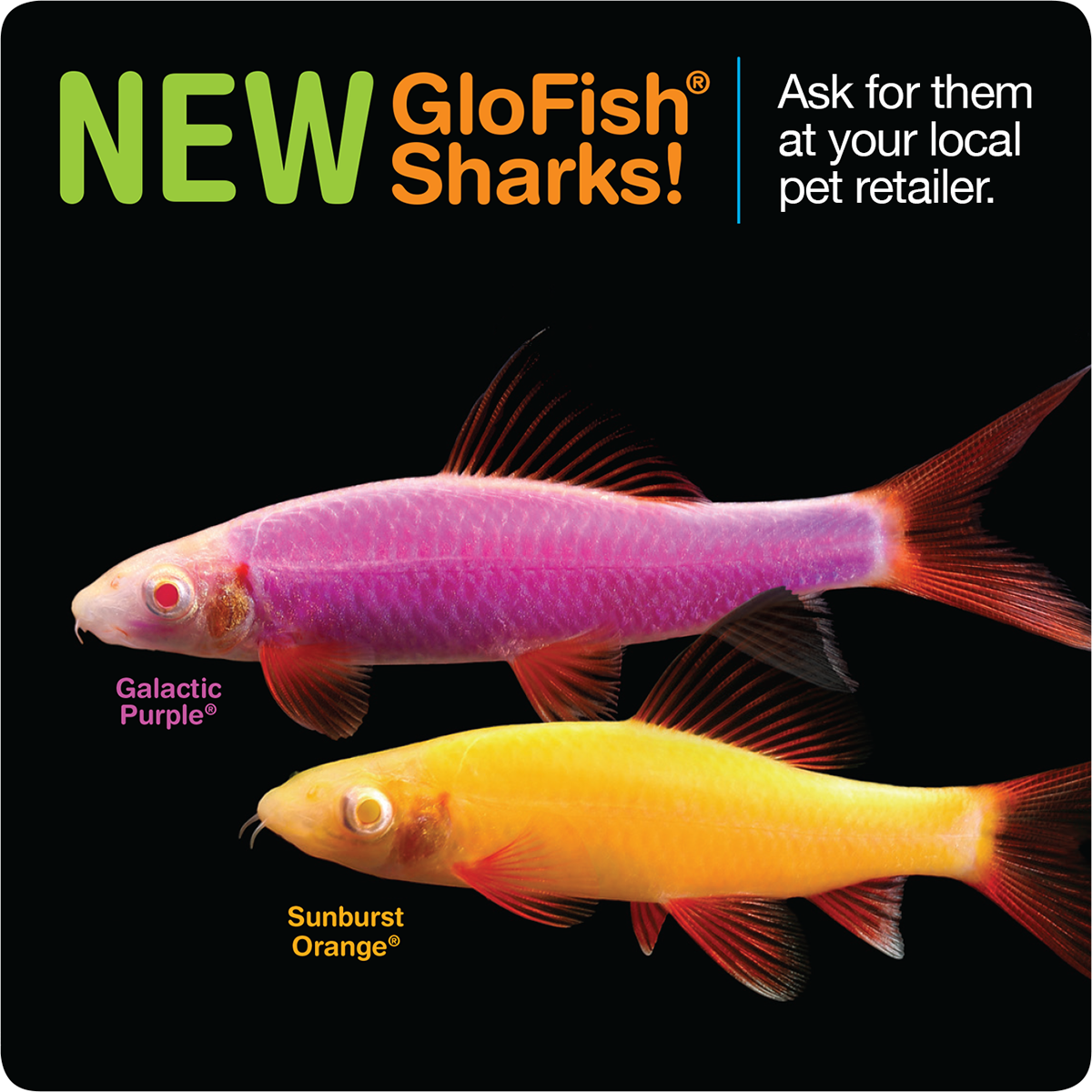 We Re Excited To Bring You The Latest And Largest Member Of The Glofish Fluorescent Fish Family The Glofish Shark Glofish Sh Glofish Glow Fish Pet Fish
