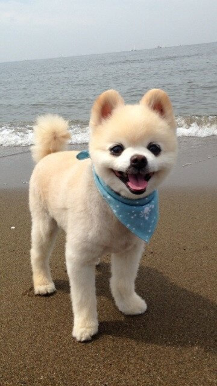 pomeranian haircut style oh my goodness cutest dog ever cute pinterest dog 8955