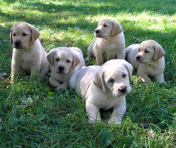 Labrador Retriever Dog Breed Yellow Lab Puppies Labrador Retriever Dog Retriever Puppy
