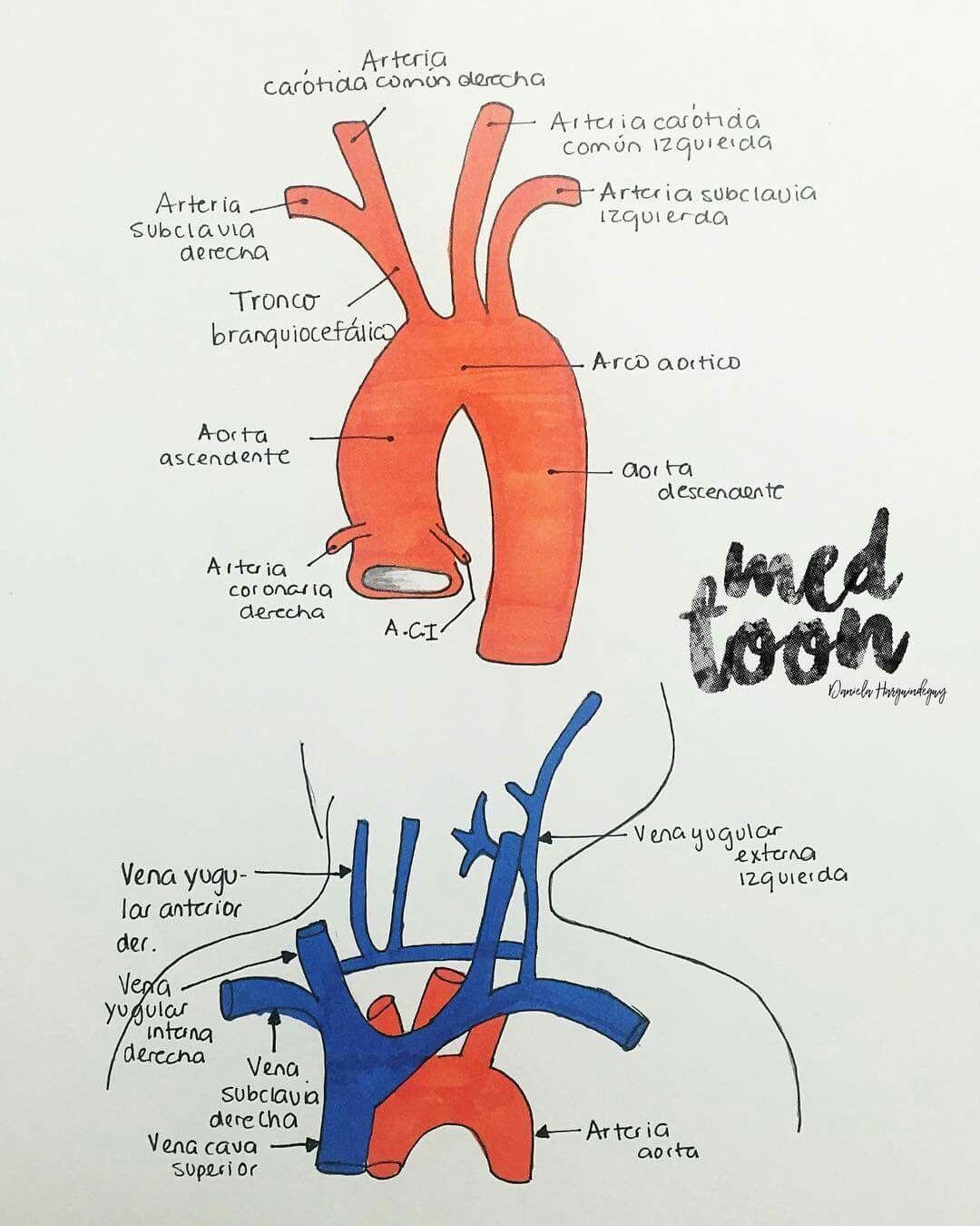 venas y arterias del corazón | Med Toon | Pinterest | Arterias del ...