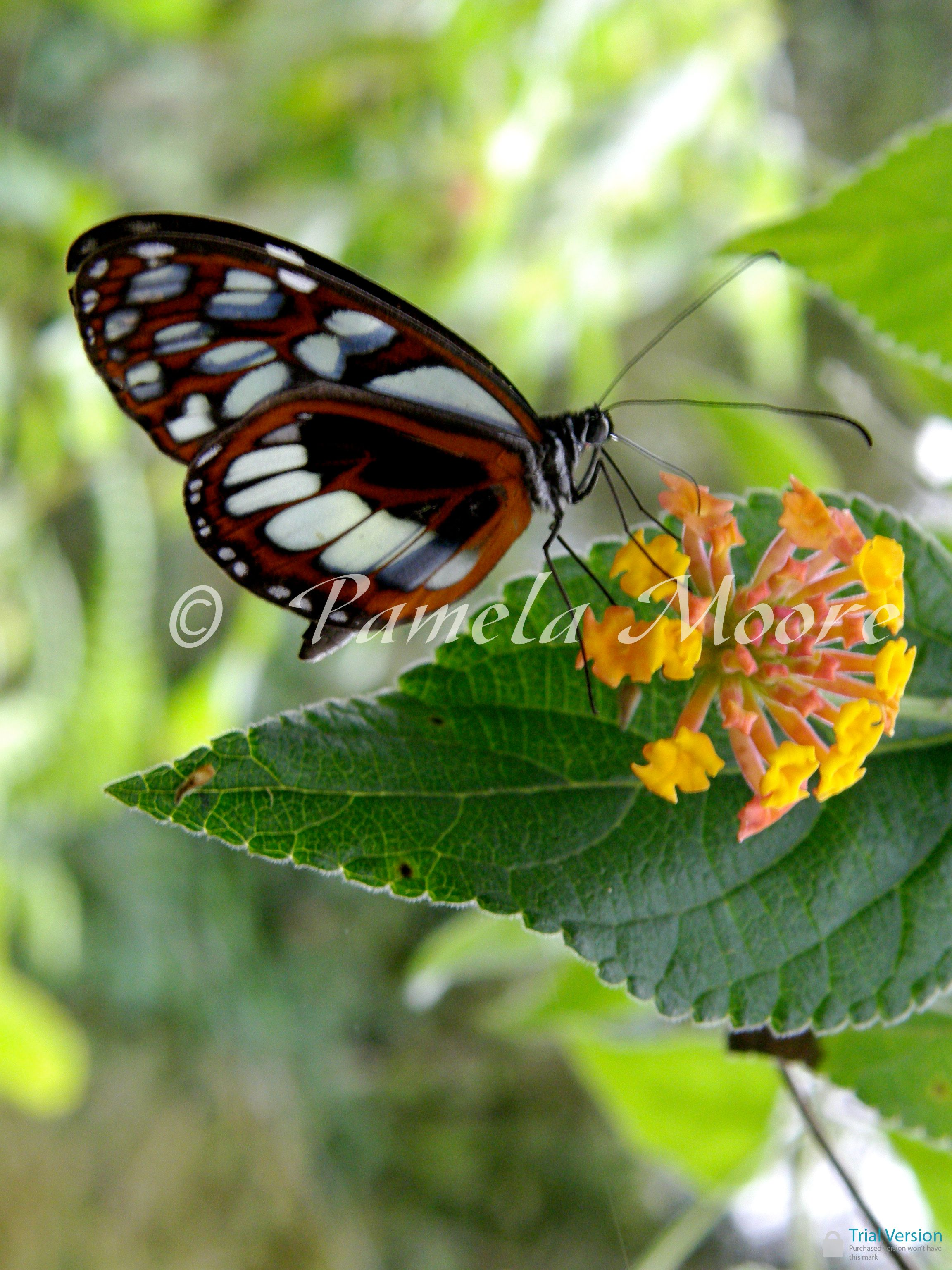 Butterfly With Glass Wings Aguas Calientes Peru By