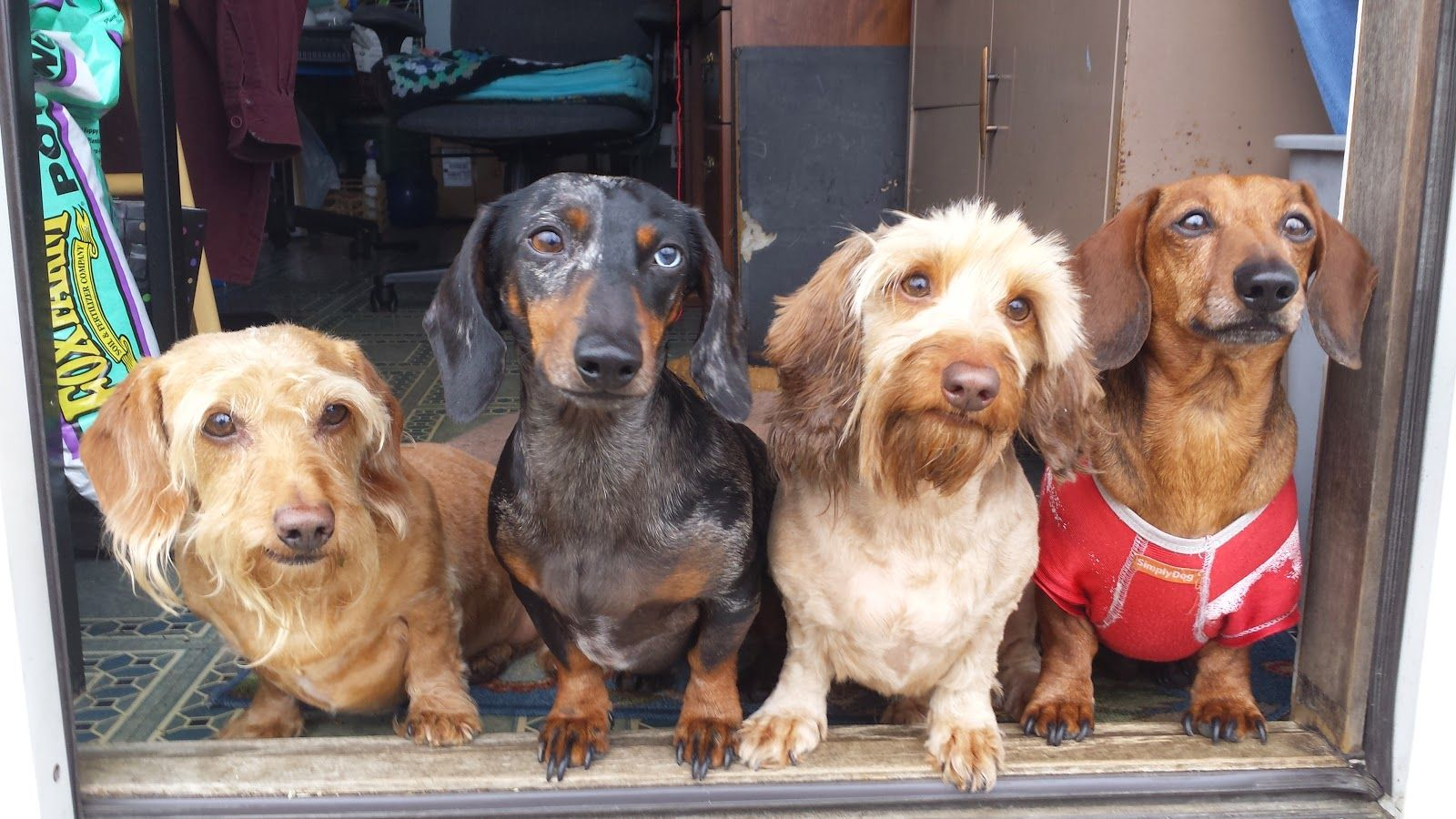 Time To Shave The Wire Hairs Weiner Dog Dachshund Mom