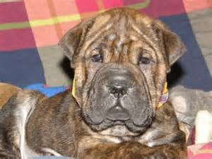 Boxer Shar Pei Mix Dogs Brindle Yahoo Image Search Results Puppy