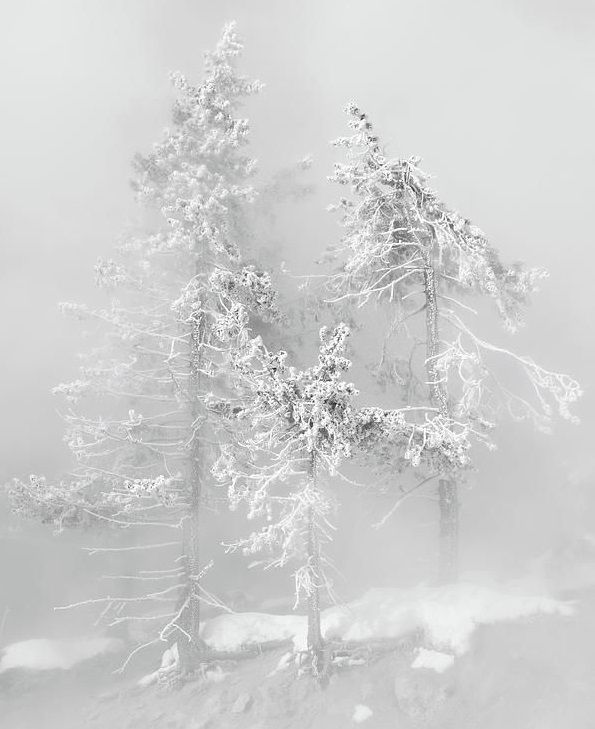 Snowy Trees in the Fog