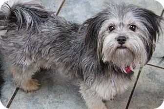 Yuba City Ca Shih Tzu Terrier Unknown Type Small Mix Meet