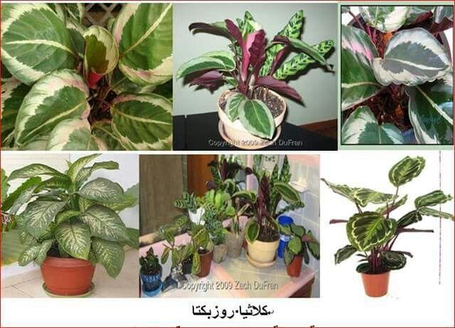 كلاثيا روزبكتا Plants