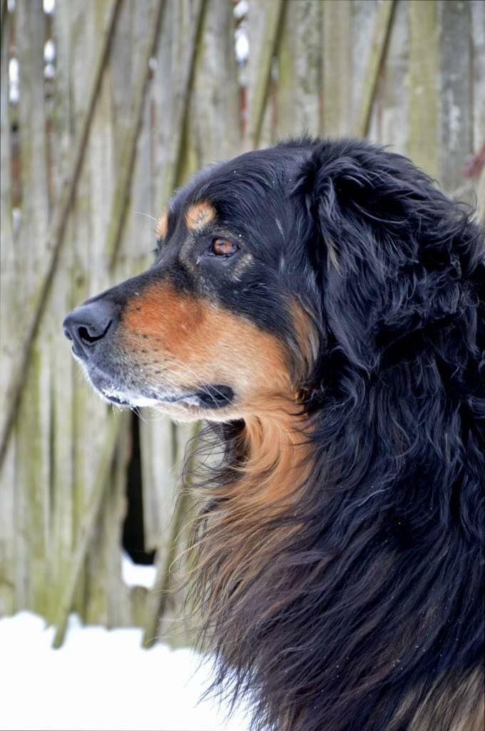Houwaert S Paris Chi Hovawart Hovawart Hovawart Dog Hundebilder