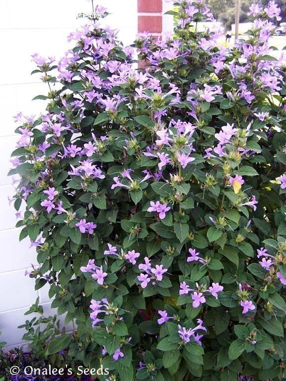 Barleria Cristata Phillipine Violet Zone 8b 11 Sun