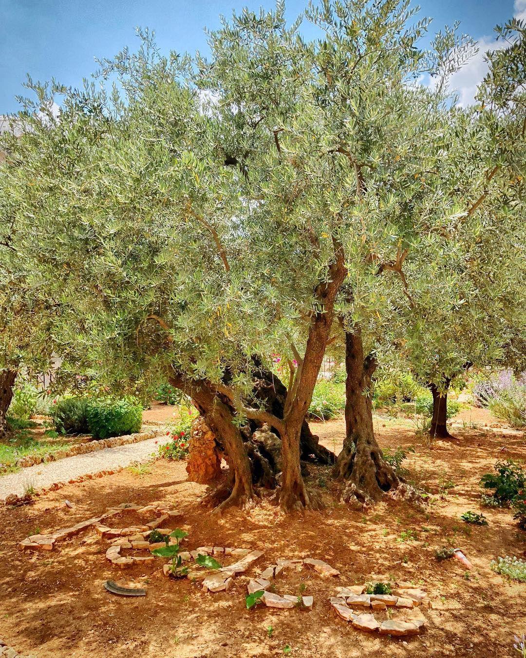 Olive Trees In The Garden Of Gethsemane Peace Gethsemane Jerusalem Israel Travelphotography Traveltheworld Travelblogger Wanderer Natur