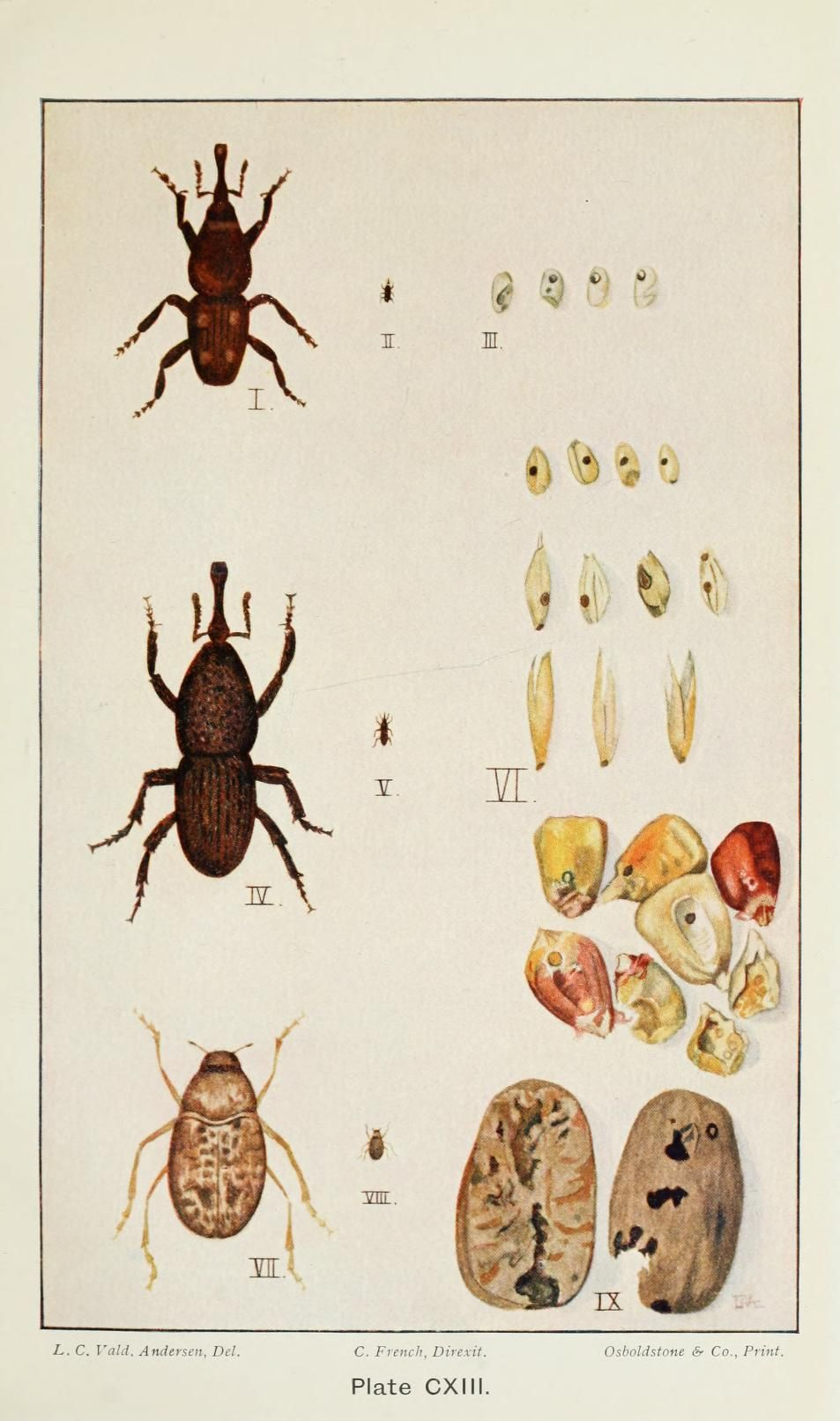 pt. 5 (1911) - A handbook of the destructive insects of Victoria : - Biodiversity Heritage Library