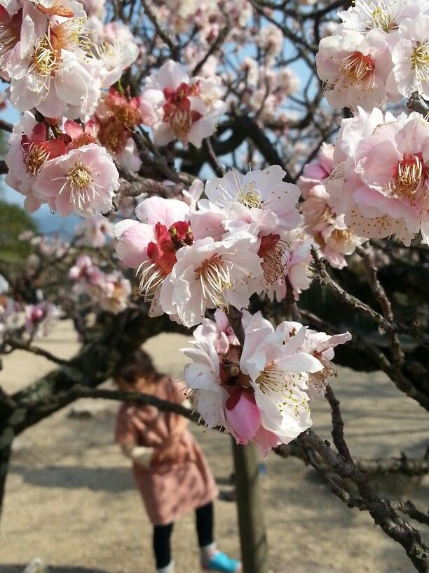 Cherry Blossoms at the Hikone castle in Japan