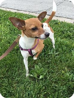 Chicago Heights Il Chihuahua Rat Terrier Mix Meet Rosie A Dog For Adoption Http Www Adoptapet Com Pet 1553222 Rat Terrier Mix Dog Adoption Rat Terriers