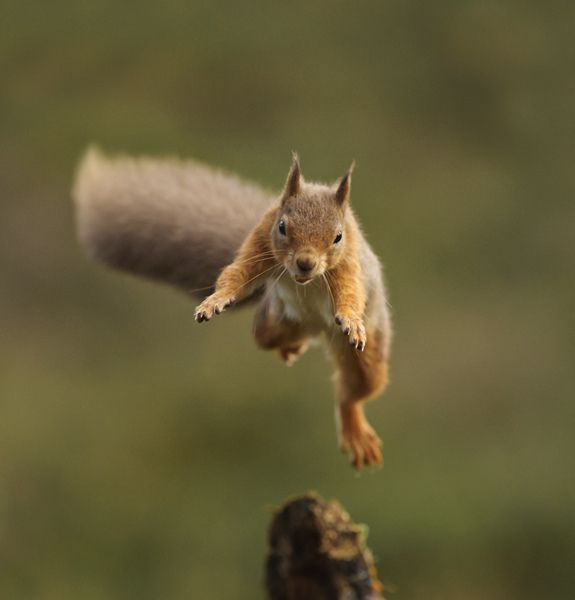 red jump fly squirrel - photo #21