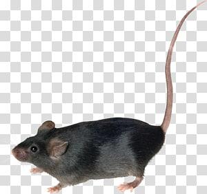 Black Mouse Mouse Brown Rat Rodent Mouse Rat Transparent Background Png Clipart Pet Rodents Brown Rat Pug Toy