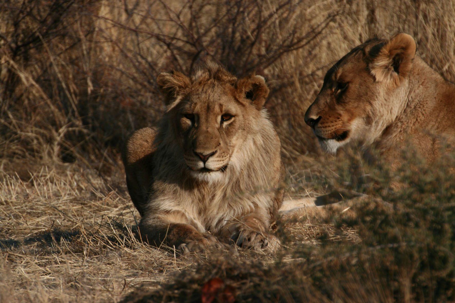Wist je dat als je een cheetah, leeuw of luipaard adopteert, je een foto van jouw 'kat' ontvangt? Kan je bijvoorbeeld inlijsten. En je ontvangt het levensverhaaal van je kat: waar komt ie vandaan en wat heeft ie al meegemaakt? Hoe het verder gaat met je adoptiekat hoor je jaarlijks van ons. Je kent vast wel iemand die het prachtig zou vinden om een kat zoals de bijzondere leeuw Shenzi te adopteren. ♥ Doe het nu: http://www.stichtingspots.nl/index.php?page=356