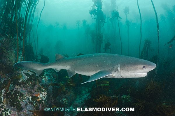 Image Result For Broadnose Seven Gill Shark One Dorsal Fin Makes It A Cow Shark All The Animals Pinterest Shark Animals And Whale