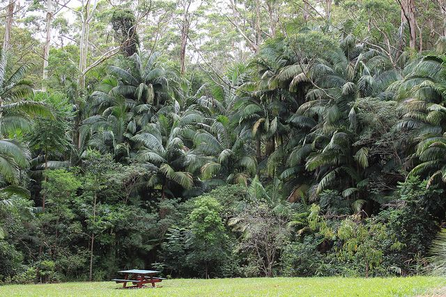 Thicket of picabeen palms (Archontophoenix cunninghamiana) by tanetahi, via Flickr