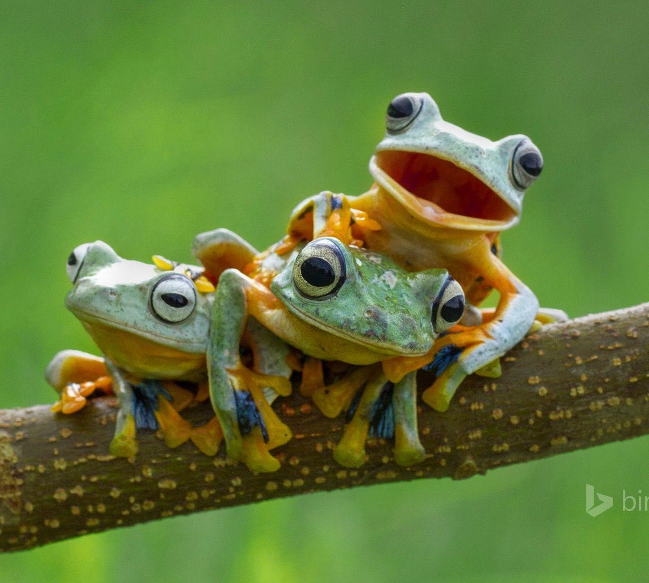 Black webbed tree frog Animali, Animali divertenti