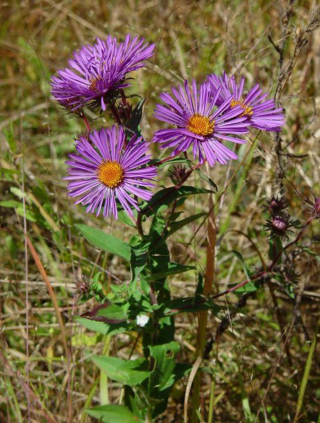 Respiratory Benefits Of Aster Aster Perennial Plants Flower Identification