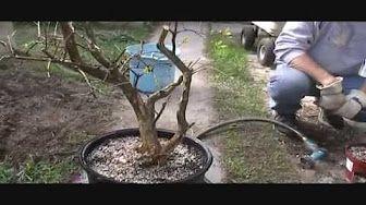 Bonsai - Thicken Branches